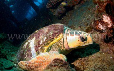 Loggerhead Turtle 3762