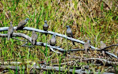 Pigeons 1544