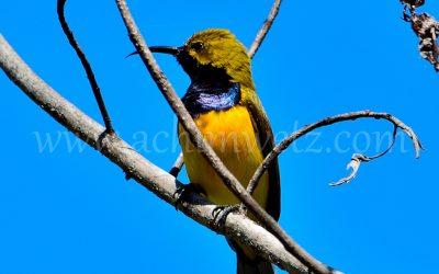 Sunbird 1550