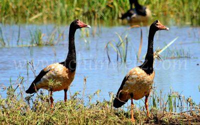 Macpie Goose 1580