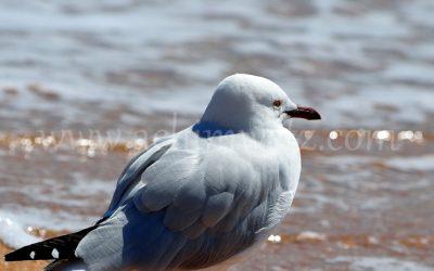 Seagull 1659