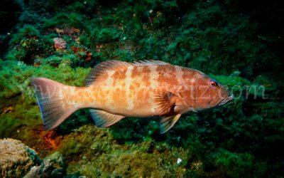 Coral Trout 2982
