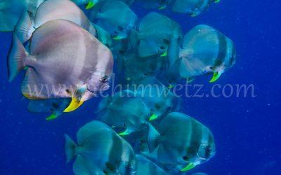 Batfish 3210