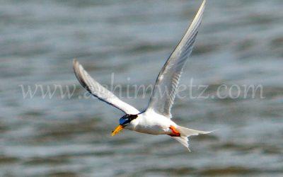 Seagull 3276