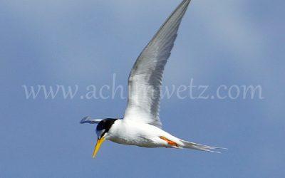 Seagull 3278