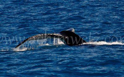 Humphead Whale 1170