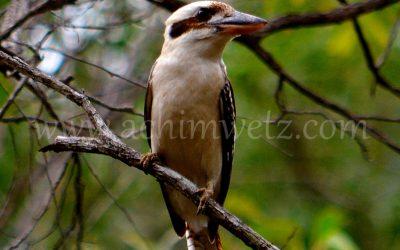 Kookaburra 1239