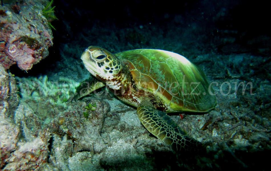 Green Turtle 4653