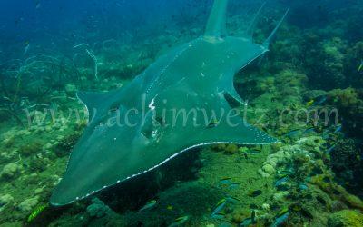 Guitar Shark 1316