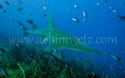 Guitar Shark 1318