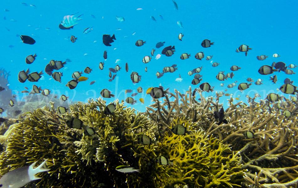 Damselfish with Corals 2514