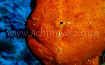 Frogfish 2098