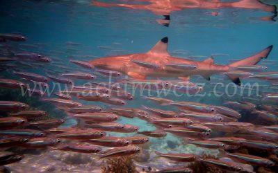 Blacktip Reefshark 3875