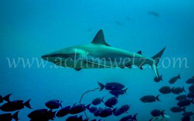 Grey Reefshark 9987