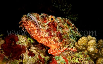 Scorpionfish 3365