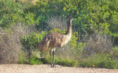 Emu 1070522