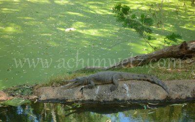 Freshwater Crocodile 1080475