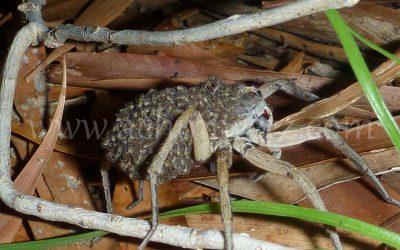 Huntsman Spider with Babys 1090124