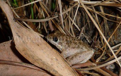 Wood Frog 1090340
