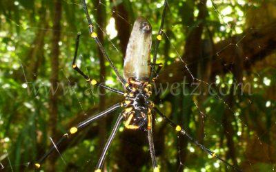 Golden Orb Spider 1090371