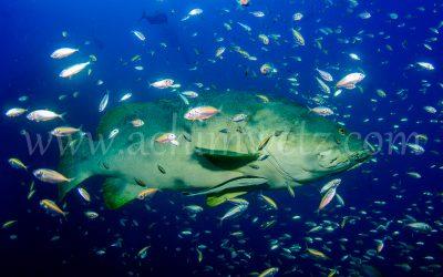 SS.Yongala-Grouper 0062
