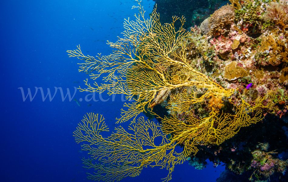 Gorgonian Seafan 3135
