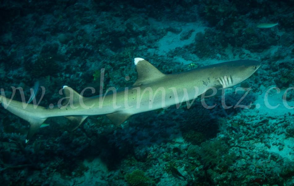 Whitetip Reefshark 3218