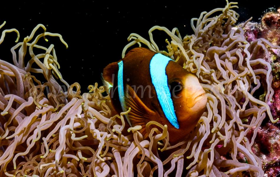 Clownfish 3247