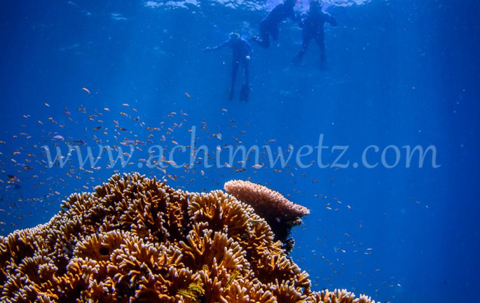 Snorkler and Corals 4335