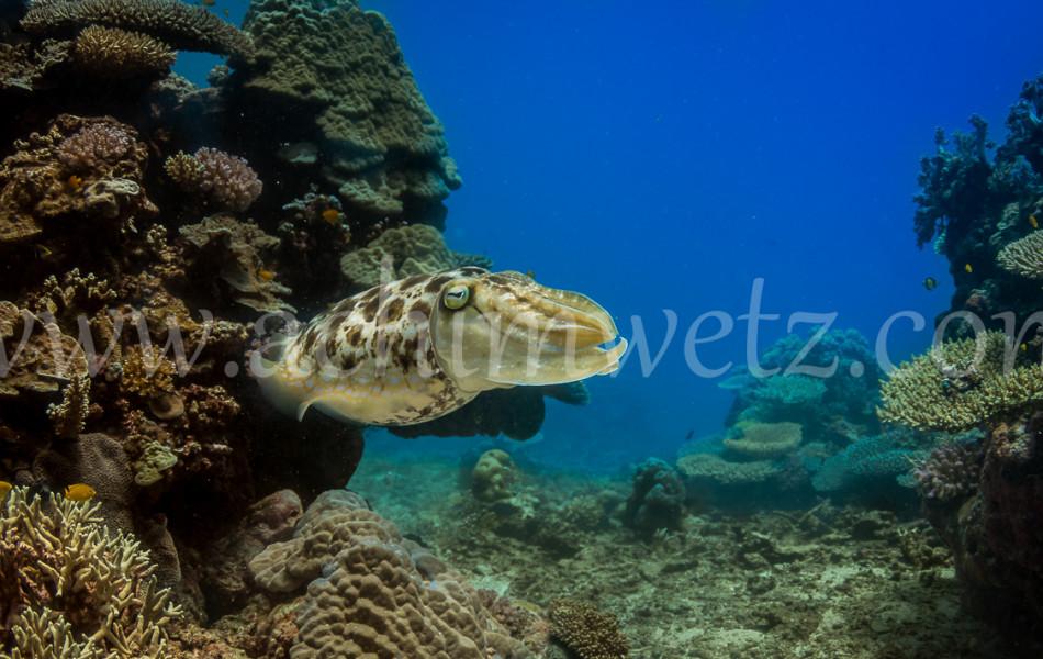 Cuttlefish 4361