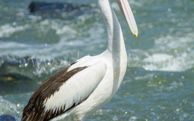 The Pelican 4645
