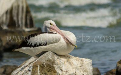The Pelican 4648