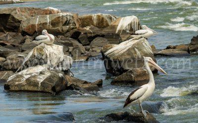 The Pelican 4651