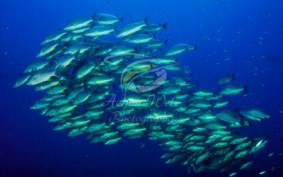 Schooling fish 6134