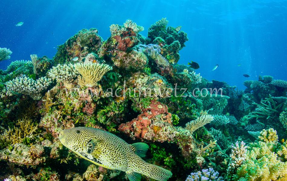 Pufferfish 6380