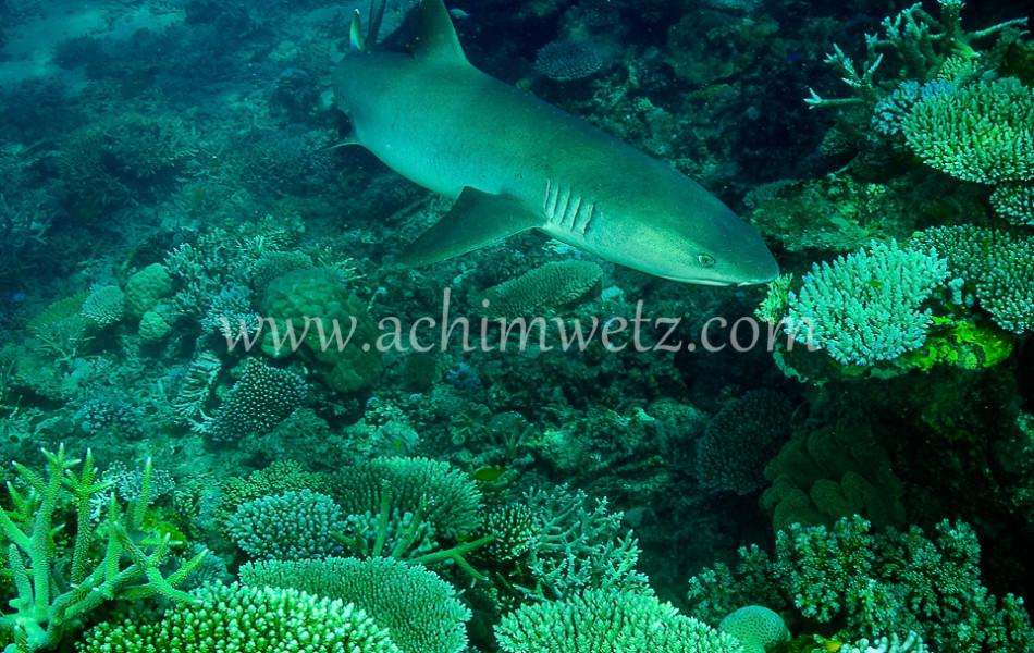 Whitetip Reef Shark 6395
