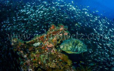 SS Yongala-porcupinefish 6438