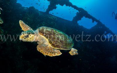 SS Yongala-Turtle 6518