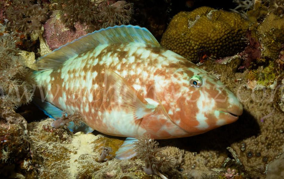 Sleeping Parrotfish 6579