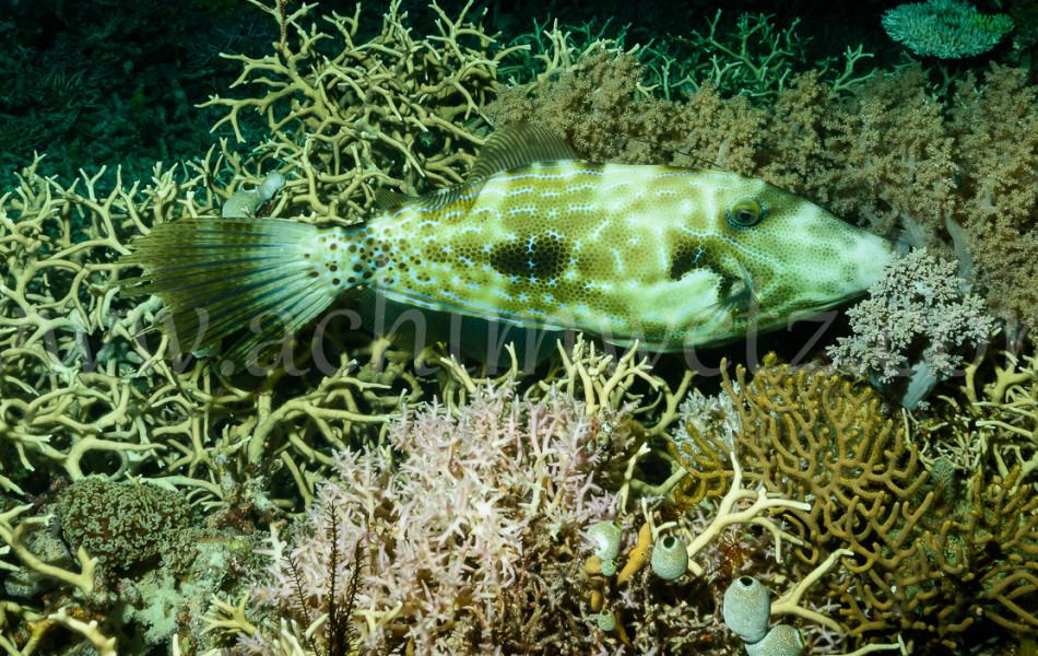 Filefish 6583