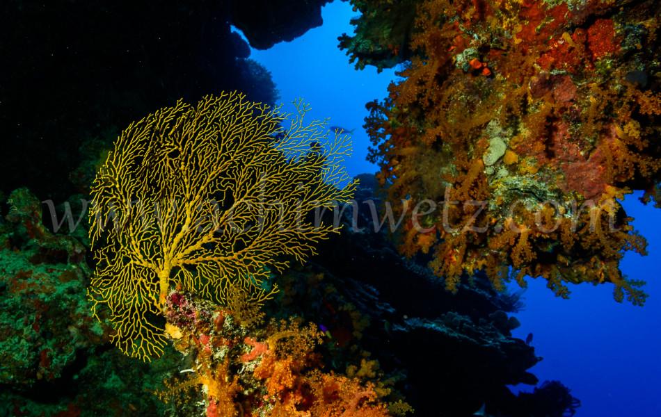 Gorgonian Seafan 6658