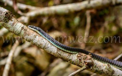 Tree Snake 6714