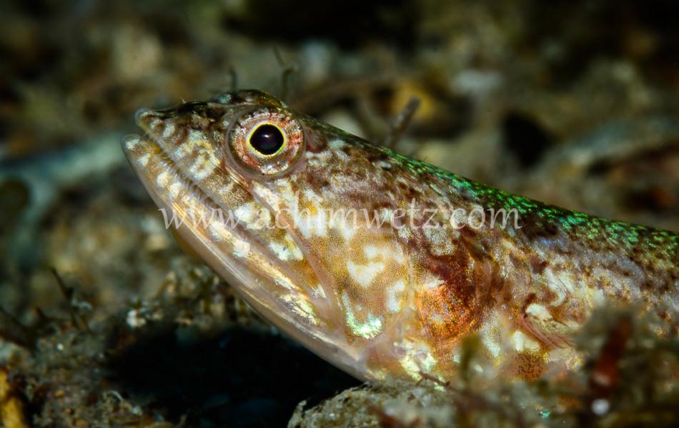 Lizardfish 6853