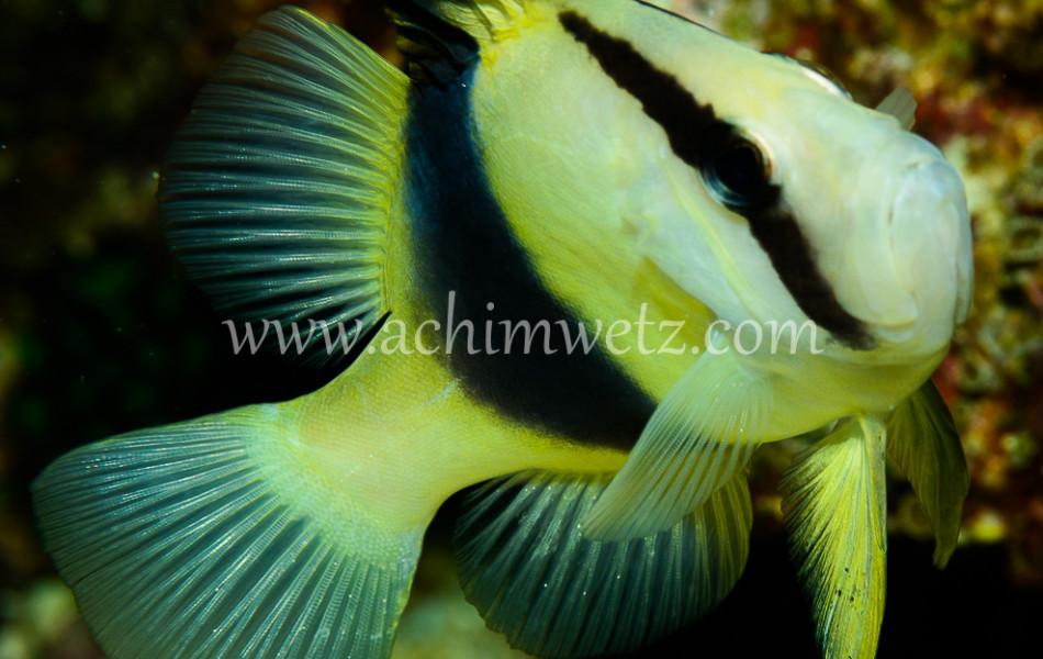 Soapfish 7928