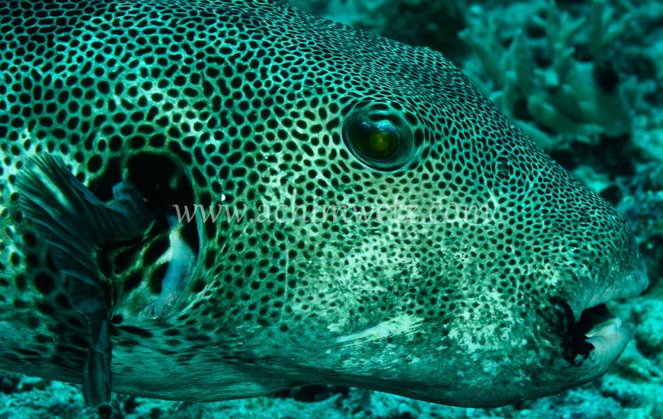 Pufferfish 7982