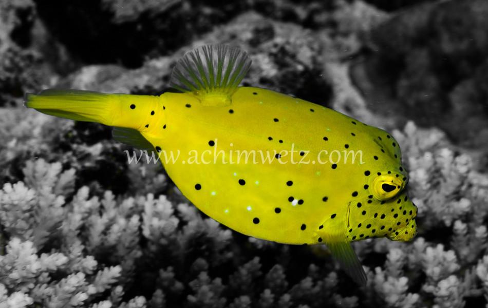 Yellowboxfish 8640