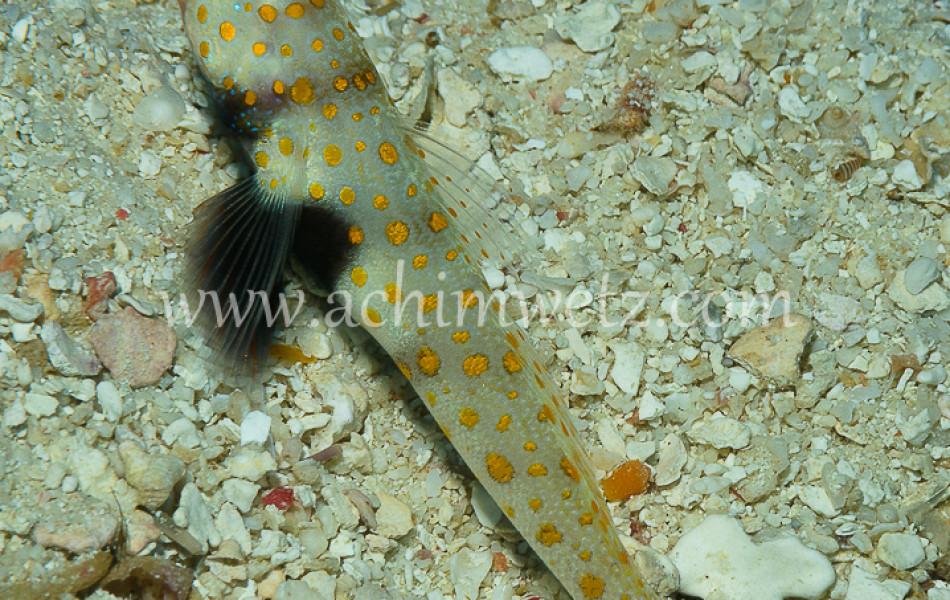 Shrimpgoby 8728
