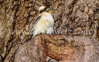 Kookaburra 9364