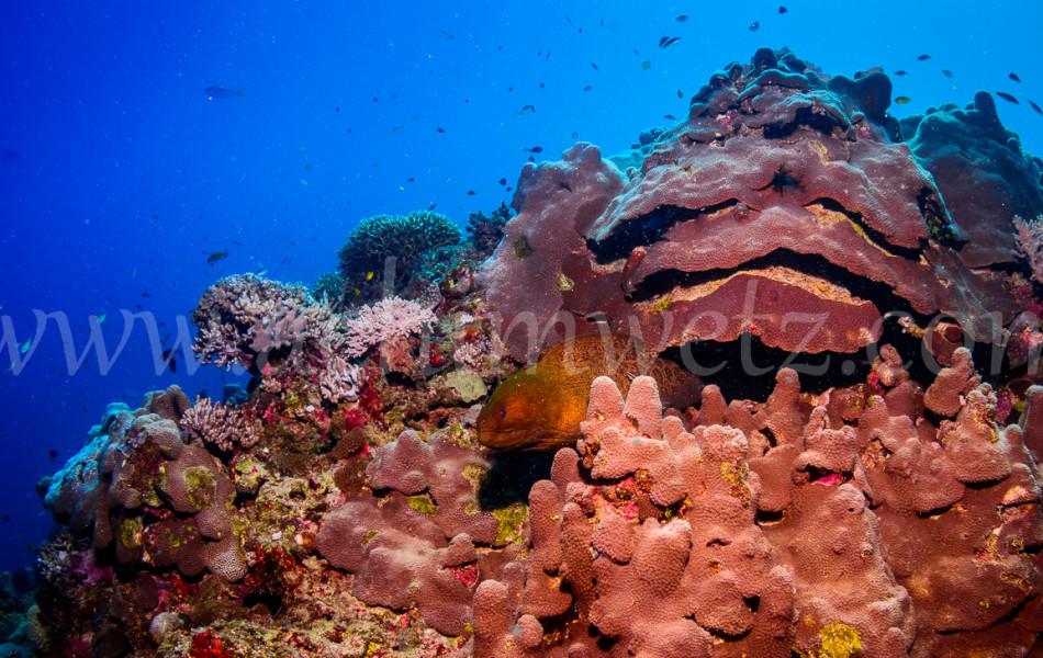 Great Barrier Reef-Mouray Eel 9869