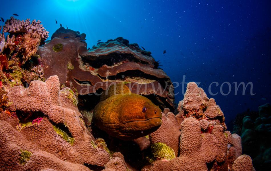 Great Barrier Reef-Mouray Eel 9871
